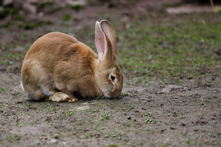 Full body of domestic female brown Flemish giant rabbit. Photography of nature and wildlife.