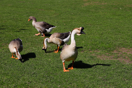 Toulouse and chinese domestic geese on the green meadow. Photography of nature and wildlife. 写真素材