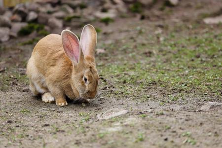 Corps entier de lapin géant flamand brun femelle domestique. Photographie de la nature et de la faune. Banque d'images