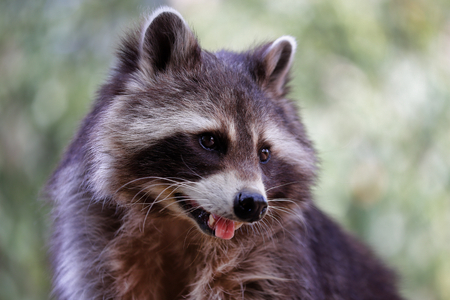 Portrait of common raccoon with outstretched tongue. Photography of nature and wildlife.