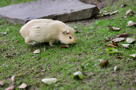Full body of beige domestic guinea pig (Cavia porcellus) cavy in the garden. Photography of nature and wildlife.