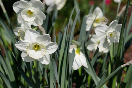 Portrait of white narcissus flower in the spring garden. Macro photography of nature. 免版税图像