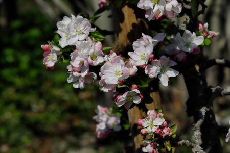 Flowering malus sylvestris the european crab apple in the spring garden. Macro photography of nature. 版權商用圖片