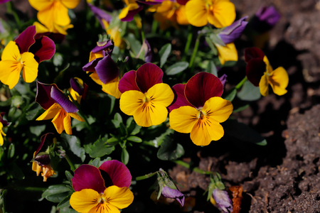 Close-up of purple-yellow viola flowers in the spring garden. Photography of lively Nature.