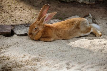 Corps entier de lapin géant flamand brun mâle domestique. Photographie de la nature animée.