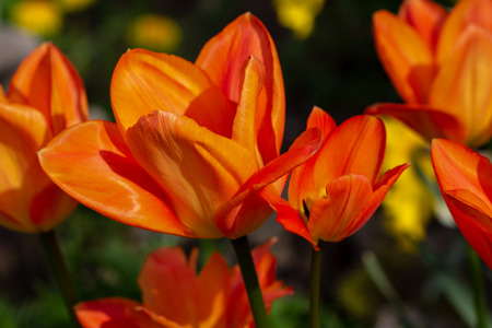 View of orange tulip flower in the spring time garden. Photography of lively Nature.