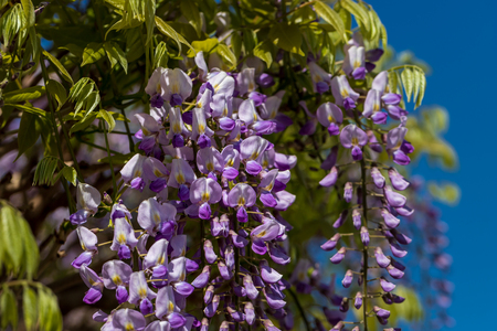 View of chinese wisteria sinensis flowering plants with hanging racemes. Photography of lively Nature. Stock fotó