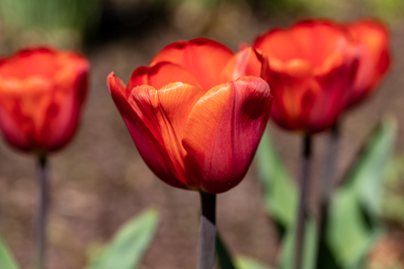 View of red tulip flowers in the spring time garden. Photography of lively Nature.