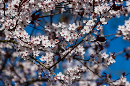 Branch of prunus serrulata japanese cherry in the spring time garden. Photography of lively Nature. Stock fotó