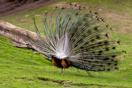 The male Indian peafowl (Blue peafowl or Pavo cristatus) with his colorful on his back side covert feathers. Photography of lively nature and wildlife.