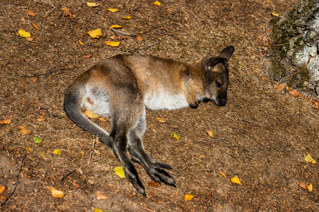 Full body of relax lying  joey young kangaroo on the meadow. Photography of lively nature and wildlife. Stock Photo