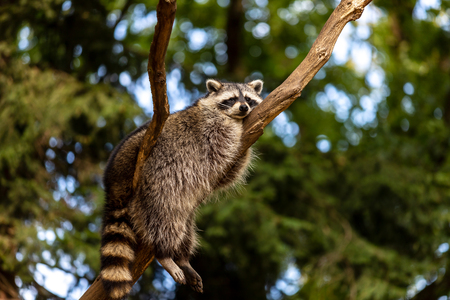 Full body of relaxing common lotor procyon raccoon on the tree branch. Photography of lively nature and wildlife.