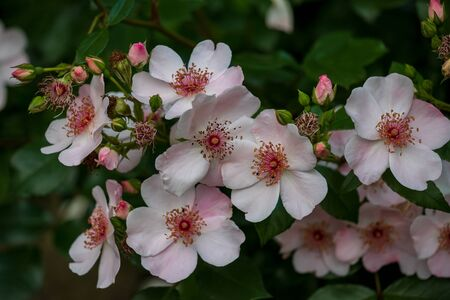 View of white-pink flowering bush in the summer time garden. Photography of lively nature. Standard-Bild