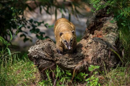 Full body of nasua raccoon on the tree stump. Photography of lively nature and wildlife.