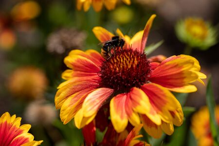 View of bumble bee on the  blanket gaillardia flower in the summer garden. Photography of nature and wildlife.