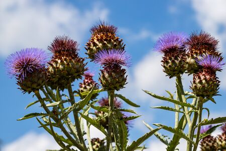 View of artichoke heads with flowers in bloom in the summer garden. Macro photography of lively Nature.