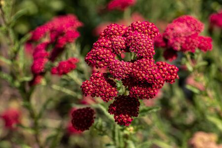 View of dark red spiraea japonica flowers in the summer garden. Photography of lively nature. Standard-Bild