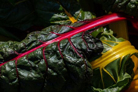 Close-up of red-yellow stemmed chard in the summer time vegetable garden. Macro photography of lively Nature.