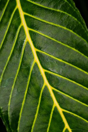 Close-up of big green tropical tree leaf. Macro photography of lively Nature.