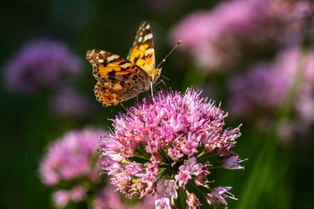 Portrait of painted lady butterfly on the pink flower in the summer garden. Photography of nature and wildlife.