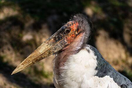 Portrait of large wading bird marabou stork (Leptoptilos crumenifer). Photography of nature and wildlife.
