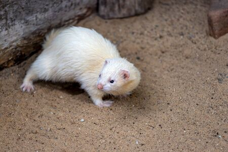 Full body of domestic white-beige male ferret. Photography of nature and wildlife. Standard-Bild