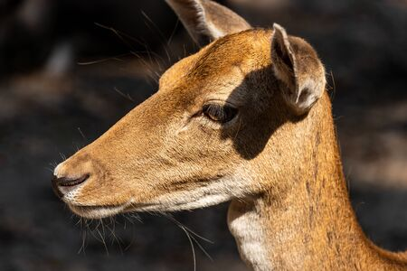 Close-up portrait of female fallow deer (dama, dama) in the forest. Photography of nature and wildlife.
