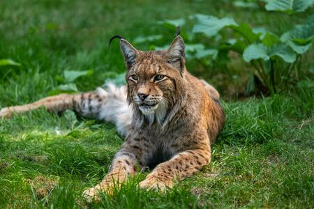 Portrait of lying relaxed eurasian lunx on the grass. Photography of wildlife.