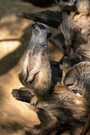 Full body of standing adult wild African Meerkat (Suricatta). Photography of lively nature and wildlife.