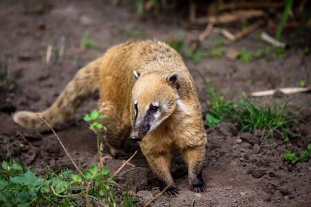 Portrait full body of adult nasua raccoon. Photography of lively nature and wildlife. Standard-Bild