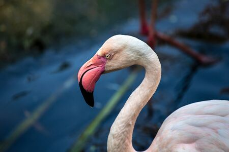 Close-up of rosy colored flamingo waterbird wading in the river, neck und head detail. Photography of lively nature and wildlife.
