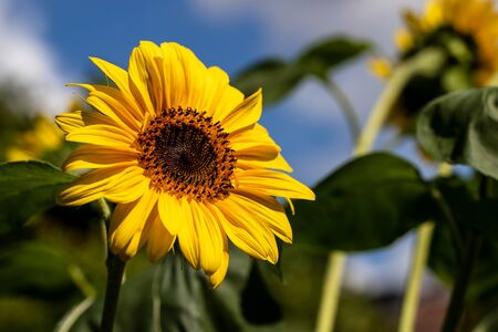 View of sunflower in the summer time garden. Photography of lively nature.