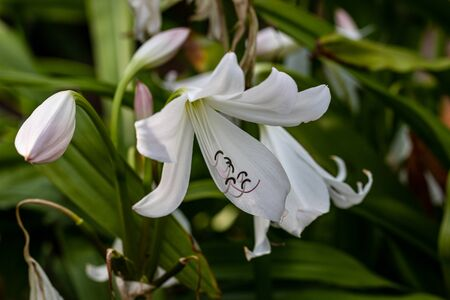 View of white lilium flowers in the summer time garden. Photography of lively nature.