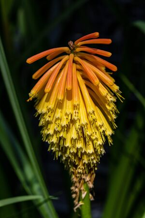 Close-up of tropical orange-yellow flowering wild plant. Macro photography of lively Nature.