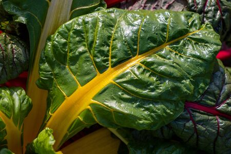 Close-up of red-yellow-green stemmed chard in the summer time vegetable garden. Macro photography of lively Nature.