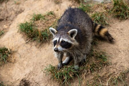 Full body of young common raccoon. Photography of lively nature and wildlife.