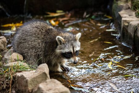 Portrait of young common raccoon testing the river water. Photography of lively nature and wildlife. Standard-Bild