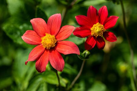 Close-up of red aster flowers in the summer time garden. Photography of lively nature.