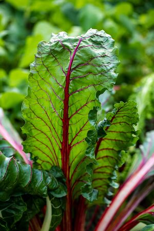 Close-up of pink-green stemmed chard in the summer time vegetable garden. Macro photography of lively Nature.