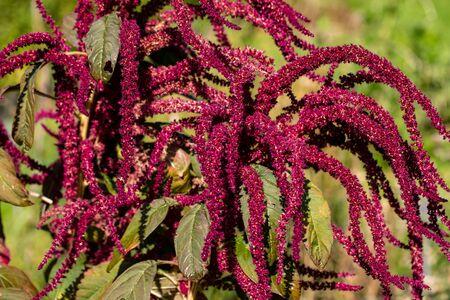 View of velvet love-lies-bleeding amaranthus caudatus growing in the summer garden. Macro photography of lively Nature.