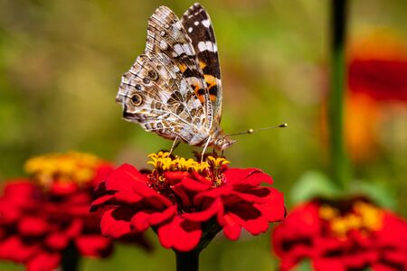 Portrait of painted lady butterfly on the red flower in the summer garden. Photography of nature and wildlife.