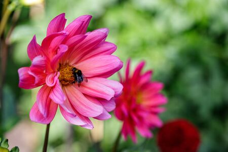 View of bumble bee on the pink aster flower in the summer garden. Photography of nature and wildlife.