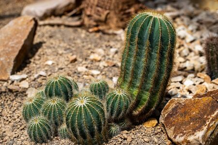 View of colony globular cactus spiny plant in the stone garden. Macro photography of lively Nature.. Macro photography of lively Nature.