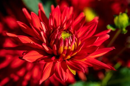 Close-up of red dahlia flower in the summer time garden. Photography of lively nature.