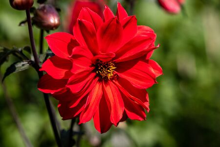Portrait of red dahlia flower in the summer time garden. Photography of lively nature.