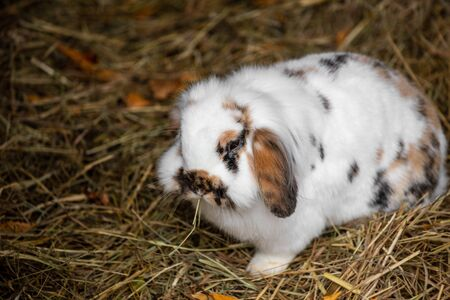 Full body of white-black-brown domestic pygmy rabbit. Photography of lively nature and wildlife. Standard-Bild
