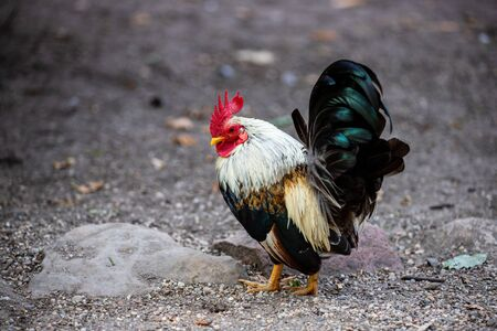 Full body of adult pygmy rooster on the farm. Photography of nature and wildlife. Standard-Bild