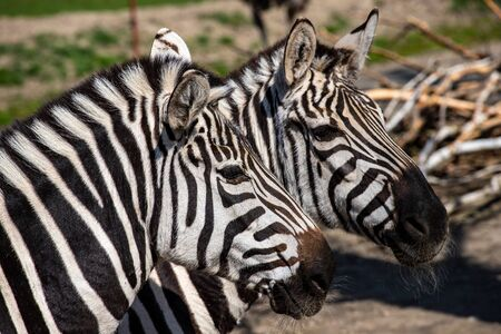 Portait of a pair adult zebras. Photography of lively nature and wildlife. Foto de archivo - 134359753