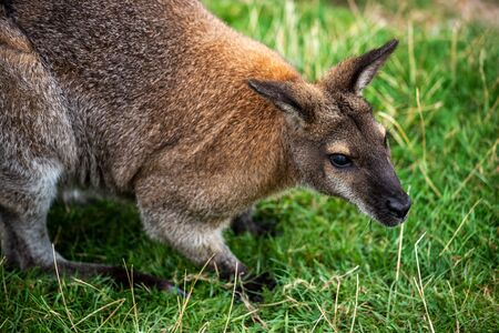 Portrait of adult wallaby macropodidae on the green grass. Photography of lively nature and wildlife. Standard-Bild