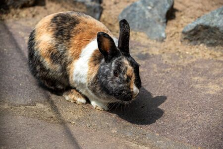 Full body of black-beige-white domestic pygmy rabbit. Photography of lively nature and wildlife.